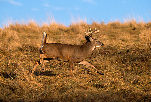 WLD 13 DB0036 01 © Kimball Stock Profile Of White-tailed Deer Buck Running In Field In Autumn