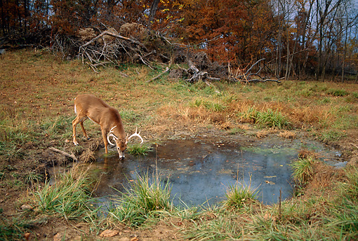 WLD 13 DB0037 01 © Kimball Stock White-tailed Deer Buck Drinking At Watering Hole In Autumn
