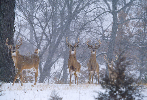 WLD 13 DB0038 01 © Kimball Stock Four White-tailed Deer Bucks Standing In Snowstorm In Woods