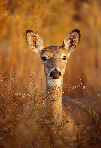 WLD 13 DB0039 01 © Kimball Stock Head On Head Shot White-tailed Deer Doe In Meadow In Autumn