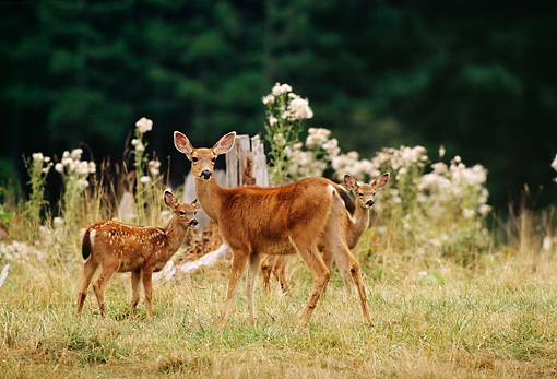 WLD 13 DB0040 01 © Kimball Stock Black-tailed Deer Doe And Twin Fawns Standing In Field