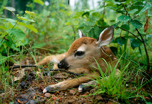 WLD 13 DB0041 01 © Kimball Stock Newborn White-tailed Deer Fawn Bedded In Forest