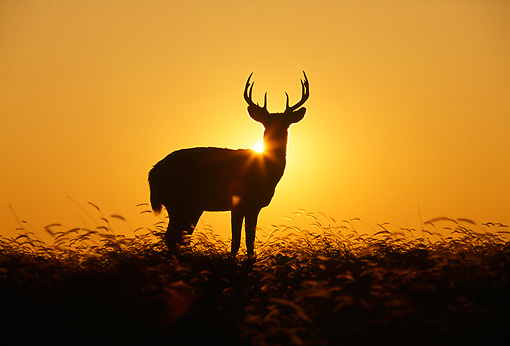 WLD 13 DB0042 01 © Kimball Stock Silhouette Profile Of White-tailed Deer Buck Standing In Field At Sunrise