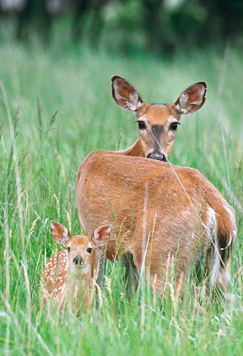 WLD 13 GR0002 01 © Kimball Stock White-Tailed Deer Doe And Fawn Standing In Field Of Tall Grasses