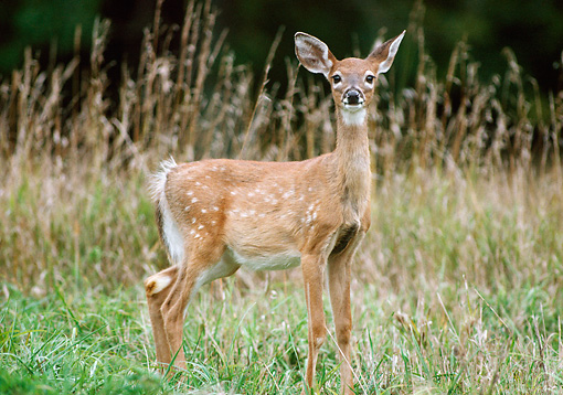 WLD 13 GR0003 01 © Kimball Stock White-Tailed Deer Fawn Standing In Field Of Tall Grasses