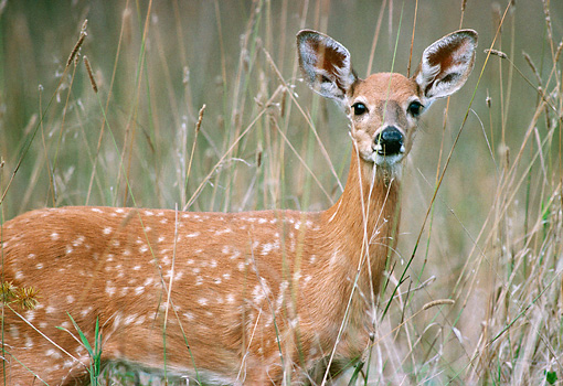 WLD 13 GR0004 01 © Kimball Stock Close-Up Of White-Tailed Deer Fawn Standing In Field Of Tall Grasses