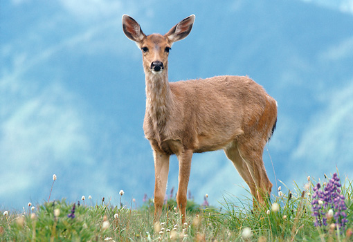 WLD 13 GR0005 01 © Kimball Stock Juvenile Black-Tailed Deer Standing In Field