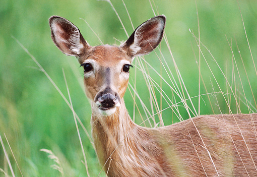 WLD 13 GR0010 01 © Kimball Stock Head Shot Of White-Tailed Deer Doe Standing In Field