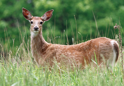 WLD 13 GR0011 01 © Kimball Stock Close-Up Of White-Tailed Deer Doe Standing In Field