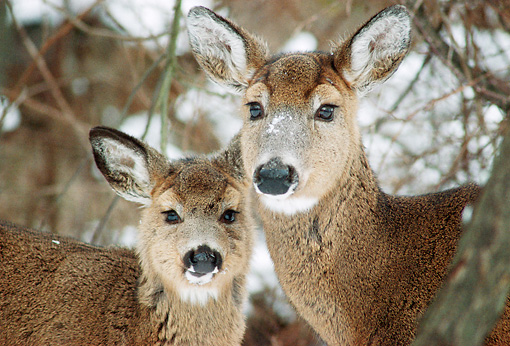 WLD 13 GR0012 01 © Kimball Stock Close-Up Of White-Tailed Deer Doe And Fawn Standing In Snowy Woods