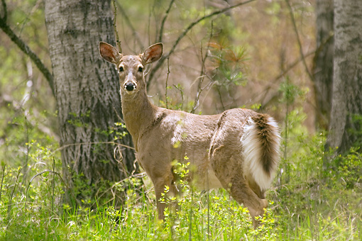 WLD 13 NE0001 01 © Kimball Stock White-Tailed Deer Doe Standing In Forest