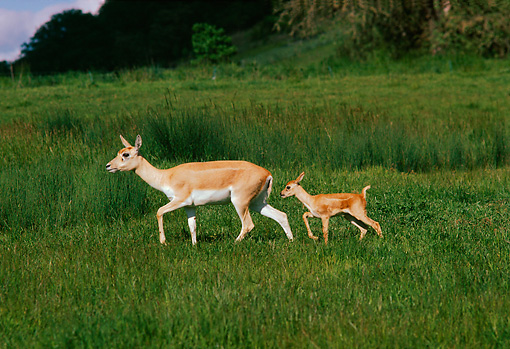 WLD 13 RK0018 08 © Kimball Stock Mother And Fawn Deer Walking Together On Tall Grass