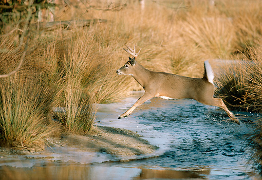 WLD 13 TK0004 01 © Kimball Stock White-Tailed Deer Leaping Over Stream With Tall Grass