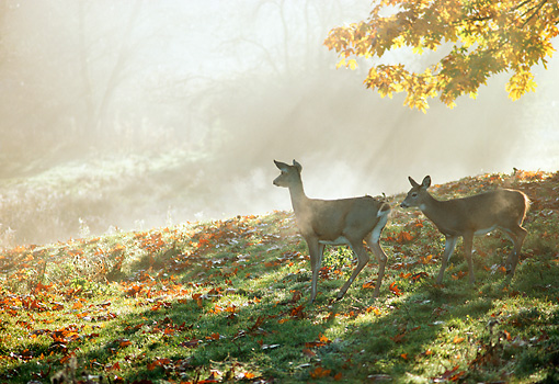WLD 13 TK0008 01 © Kimball Stock Silhouette Of Two White-Tailed Deer Walking On Grass By Autumn Trees