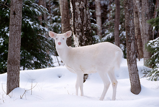 WLD 13 TL0004 01 © Kimball Stock Profile Of Albino White-Tailed Deer Doe Standing On Snow In Woods
