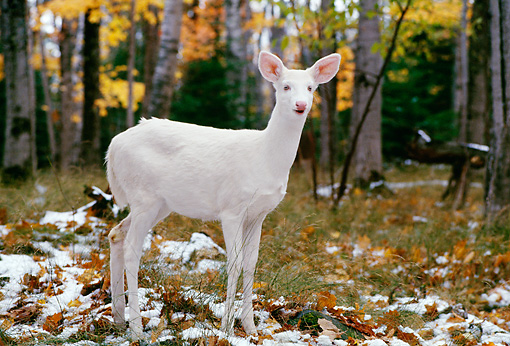 WLD 13 TL0005 01 © Kimball Stock Profile Of Albino White-Tailed Deer Standing In Woods In Autumn