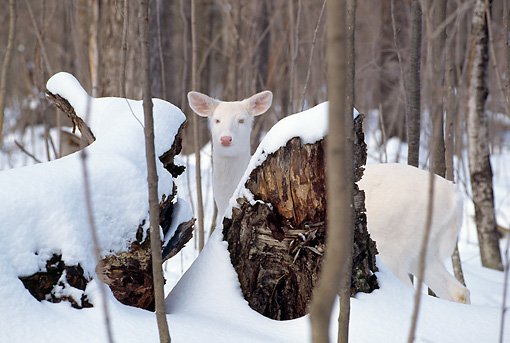 WLD 13 TL0006 01 © Kimball Stock Head Shot Of Albino White-Tailed Deer Standing In Snow Behind Logs In Woods