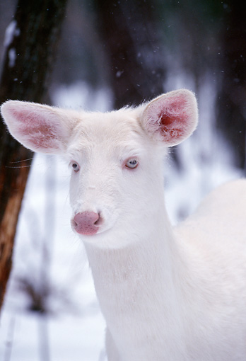 WLD 13 TL0007 01 © Kimball Stock Portrait Head Shot Of Albino White-Tailed Deer Standing In Snow In Woods