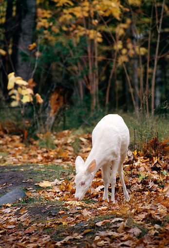 WLD 13 TL0008 01 © Kimball Stock Albino White-Tailed Deer Grazing In Woods In Autumn