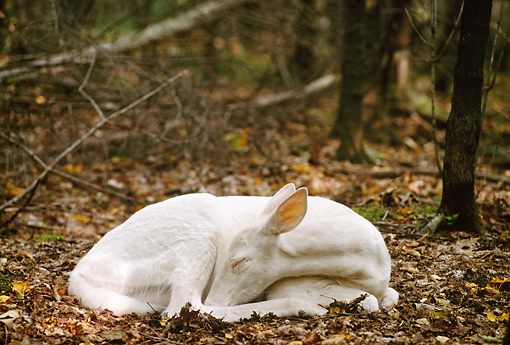WLD 13 TL0009 01 © Kimball Stock Albino White-Tailed Deer Fawn Sleeping On Forest Floor