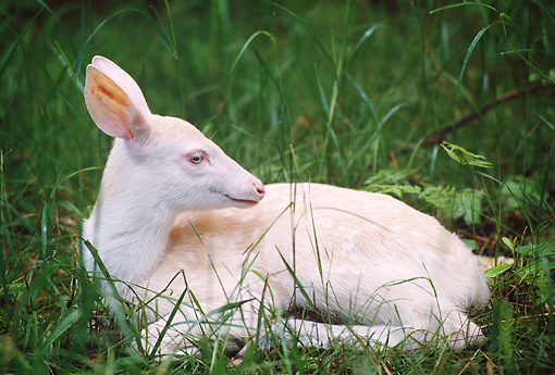 WLD 13 TL0010 01 © Kimball Stock Albino White-Tailed Deer Fawn Laying In Green Grass