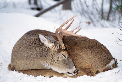 WLD 13 TL0011 01 © Kimball Stock White-Tailed Deer Buck Sleeping On Snow In Woods