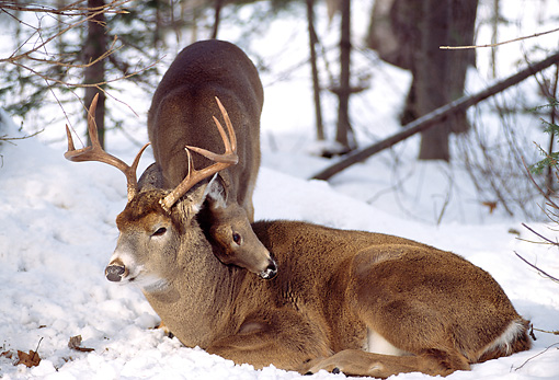 WLD 13 TL0012 01 © Kimball Stock White-Tailed Deer Fawn Nuzzling Buck Laying On Snow In Woods