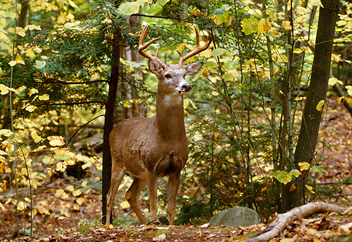 WLD 13 TL0014 01 © Kimball Stock White-Tailed Deer Buck Standing In Woods In Autumn