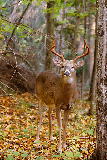 WLD 13 TL0015 01 © Kimball Stock White-Tailed Deer Buck Standing In Woods In Autumn