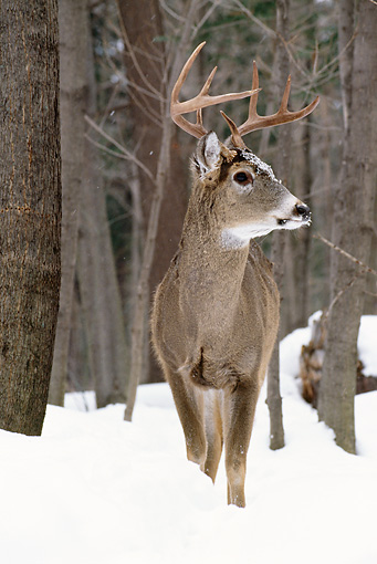 WLD 13 TL0017 01 © Kimball Stock White-Tailed Deer Buck Standing On Snow In Woods