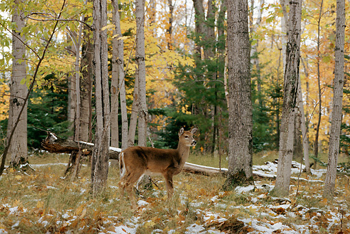 WLD 13 TL0018 01 © Kimball Stock White-Tailed Deer Standing In Woods In Autumn