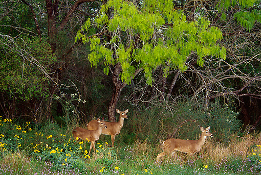 WLD 13 TL0019 01 © Kimball Stock White-Tailed Deer Standing Behind Wildflowers At Edge Of Woods