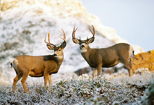 WLD 13 TL0020 01 © Kimball Stock Two Mule Deer Bucks Standing On Snowy Ridge In Autumn