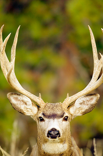 WLD 13 TL0024 01 © Kimball Stock Head On Head Shot Of Mule Deer Buck Standing By Trees