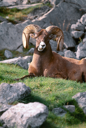 WLD 15 BA0001 01 © Kimball Stock Bighorn Sheep Ram Laying On Grass By Rocks