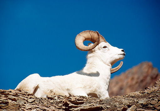 WLD 15 BA0002 01 © Kimball Stock Dall Sheep Ram Resting On Hillside