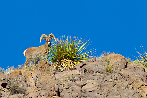 WLD 15 KH0001 01 © Kimball Stock Desert Bighorn Sheep Standing On Ridge, Arizona