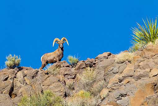 WLD 15 KH0003 01 © Kimball Stock Desert Bighorn Sheep Standing On Ridge, Arizona