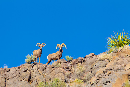 WLD 15 KH0004 01 © Kimball Stock Two Desert Bighorn Sheep Standing On Ridge, Arizona