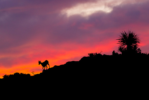WLD 15 KH0005 01 © Kimball Stock Silhouette Of Young Desert Bighorn Sheep Walking On Ridge At Sunset, Arizona