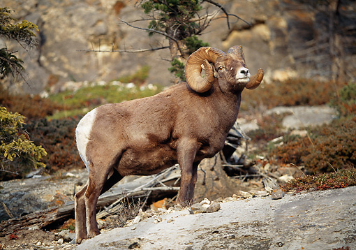 WLD 15 LS0005 01 © Kimball Stock Rocky Mountain Bighorn Sheep Standing On Rock