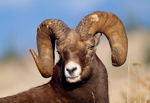 WLD 15 LS0006 01 © Kimball Stock Head Shot Of Rocky Mountain Bighorn Sheep Standing In Meadow