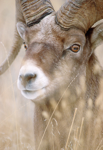 WLD 15 MC0001 01 © Kimball Stock Portrait Of Bighorn Sheep Montana