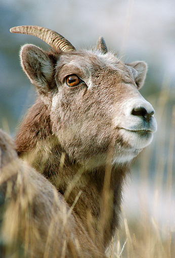 WLD 15 MC0002 01 © Kimball Stock Portrait Of Young Bighorn Sheep Yellowstone National Park