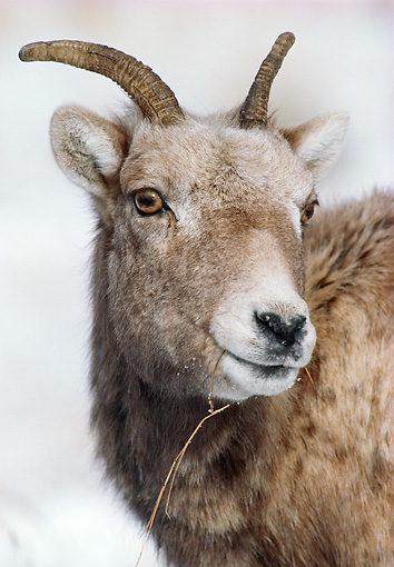 WLD 15 MC0003 01 © Kimball Stock Portrait Of Young Bighorn Sheep Rockies