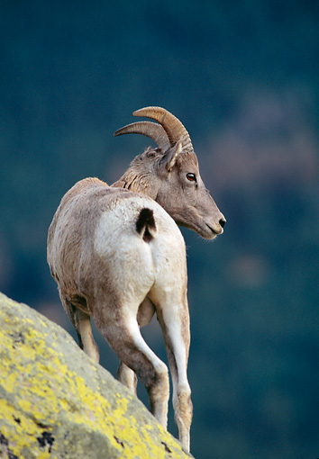 WLD 15 MC0006 01 © Kimball Stock Portrait Of Bighorn Sheep Standing On Boulder