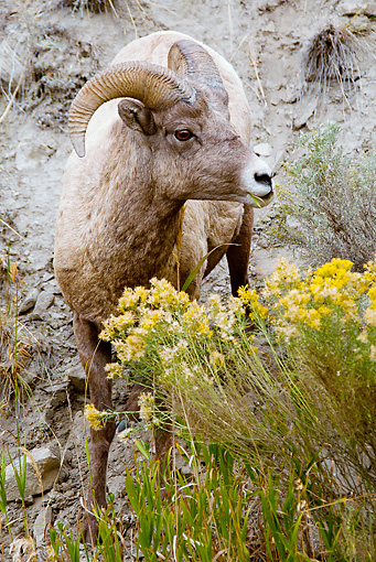WLD 15 MC0007 01 © Kimball Stock Rocky Mountain Bighorn Sheep Standing By Cliff Yellowstone National Park