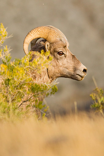WLD 15 MC0009 01 © Kimball Stock Bighorn Sheep Portrait In Yellowstone National Park, Wyoming, USA