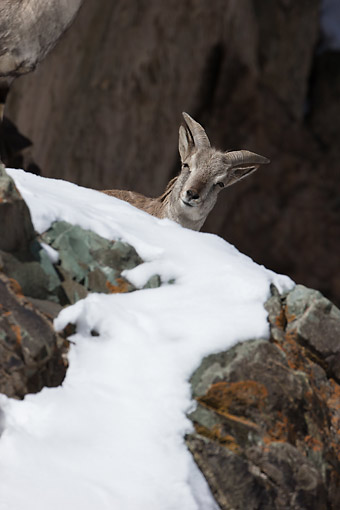 WLD 15 MC0010 01 © Kimball Stock Bharal Blue Sheep Hiding Behind Snow-Covered Rock