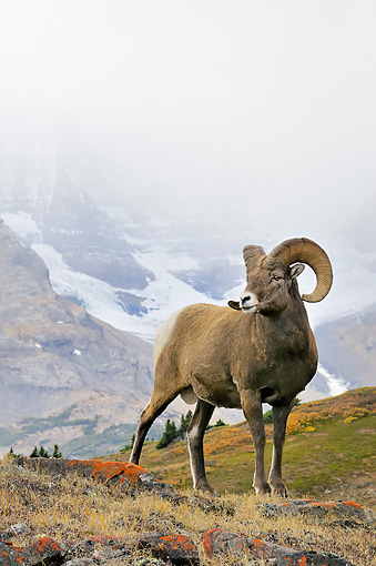 WLD 15 TL0033 01 © Kimball Stock Bighorn Sheep Ram Standing On Mountain